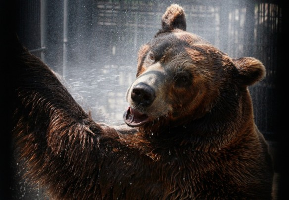 Buyan-a-male-Siberian-brown-bear-cools-down-under-a-stream-of-water-sprayed-by-an-employee-in-its-enclosure-on-a-hot-summer-day-at-the-Royev-Ruchey-zoo-in-Krasnoyarsk-on-July-13-2012.-ReutersIlya-Naymushin-960x668